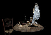 Barn Owl (Tyto alba) catching a Mouse on a table, Spain