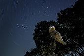 Barn Owl (Tyto alba) observing the rotation of stars, Spain