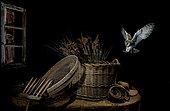 Barn Owl (Tyto alba) landing on a basket at night, Spain