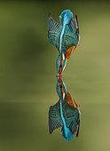 Common Kingfisher (Alcedo atthis) in dive flight and reflection, Salamanca, Castilla y León, Spain
