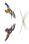 Common Kingfisher (Alcedo atthis) in flight and reflection on white background GDT 2016