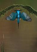 Common Kingfisher (Alcedo atthis) in dive flight, Salamanca, Castilla y León, Spain