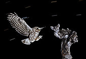 Little Owls (Athene noctua) landing at night, Salamanca, Castilla y León, Spain