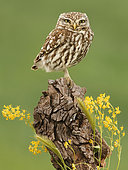 Little Owl (Athene noctua) on stump, Salamanca, Castilla y León, Spain