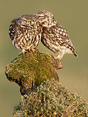 Little Owls (Athene noctua) on stump, Salamanca, Castilla y León, Spain