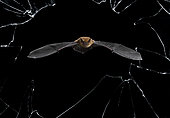 Common pipistrelle (Pipistrellus pipistrellus) flying through a broken window, Spain