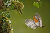 European Robin (Erithacus rubecula) in flight, Spain