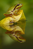 European tree frog (Hyla arborea) on leaf with reflection, Spain