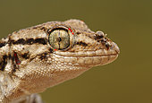 Moorish Wall Gecko (Tarentola mauritanica) with Ant on the muzzle and Parasites on the eyelid, Spain