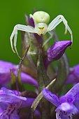 Goldenrod Spider (Misumena vatia) on an Orchid, Prairies du Fouzon, Loir et Cher, France