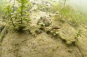 Great diving beetle (Dytiscus marginalis) in a pond, Loir et Cher, Prairies du Fouzon, France