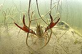 Red swamp crayfish (Procambarus clarkii) in a pond, Loir et Cher, Prairies du Fouzon, France