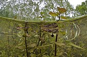 Palmated Newt (Lissotriton helveticus) male in a pond, Loir et Cher, Prairies du Fouzon, France