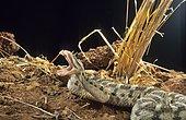 Desert horned viper (Cerastes cerastes) Biting, Ouarzazate, Morocco