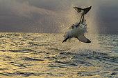 Spectacular shark's jump.(Carcharodon carcharias) False Bay, South Africa, Africa.