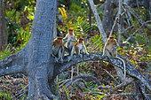 Proboscis Monkeys (Nasalis larvatus) on a root, Labuk Bay, Borneo
