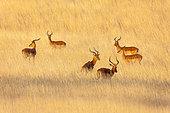 Impala (Aepyceros melampus) bucks in the savannah, Kenya