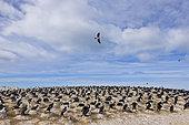 Cormoran impérial (Phalacrocorax atriceps), Ria Deseado, Patagonie, Argentine. Cette colonie de Cormorans est très organisée et bien rangée en raison du vent fort patagonien.
