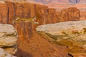 Puma (Puma concolor) leaping on a rocky ledge, USA