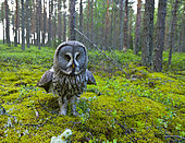 Great Gray Owl (Strix nebulosa) flooring, Finland