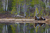 Brown bears (Ursus arctos arctos) lying at the water's edge, Finland