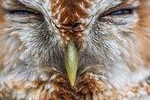 Portrait of Tawny Owl (Strix aluco) detail beak and feathers, Canton of Geneva, Switzerland