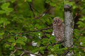 Tawny Owl (Strix aluco)juvenile just leaving its nest on a branch in daylight, Canton of Geneva, Switzerland.