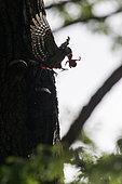 Pic épeiche (Dendrocopos major) prédation d'un jeune Etourneau sansonnet (Sturnus vulgaris) au nid dans un arbre au printemps, Canton de Genève, Suisse