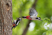 Great Spotted Woodpecker (Dendrocopos major) feeding into a cavity in the spring, Canton of Geneva, Switzerland.