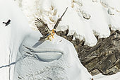 Bearded Vulture (Gypaetus barbatus) seeking a bone in the snow, Alps, Switzerland.