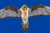 Bearded Vulture (Gypaetus barbatus) in flight over blue sky, Alps, Switzerland.