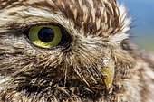 Portrait of Little Owl (Athene noctua) Canton of Geneva, Switzerland.