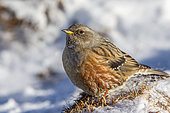 Alpine Accentor (Prunella collaris) on ground in winter, Alps, Valais, Switzerland.