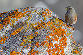 Alpine Accentor (Prunella collaris) on rock in winter, Alps, Valais, Switzerland.