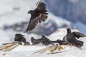 Alpine Choughs (Pyrrhocorax graculus) feeding on ground in winter, Alps, Valais, Switzerland