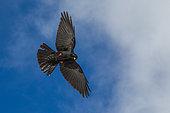 Alpine Chough (Pyrrhocorax graculus) in flight on blue sky and clouds background, Alps, Valais, Switzerland