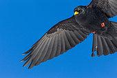 Alpine Chough (Pyrrhocorax graculus) in flight on blue sky background, Alps, Valais, Switzerland