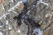 Raven (Corvus corax) flying over rock bottom in winter, Alps, Valais, Switzerland.