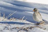 White-winged Snowfinch (Montifringilla nivalis) in snow in winter, Alps, Valais, Switzerland.