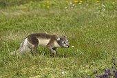 Renard polaire (Alopex lagopus) dans la toundra en été, Islande