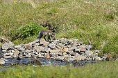 Renard polaire (Alopex lagopus) au bord d'un ruisseau dans la toundra en été, Islande