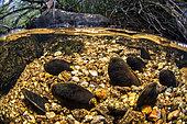 Moules perlières d'eau douce (Margaritifera margaritifera) dans l'Arn, Parc naturel régional du Haut-Languedoc, France