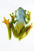 Palmar tree frog (Hypsiboas pellucens) on white background, Chocó colombiano (Ecuador)
