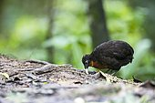 Dark-backed wood quail (Odontophorus melanototus) eating on ground, Mindo, Ecuador