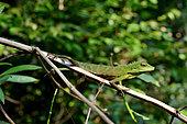 Green crested lizard (Bronchocela cristatella) on a branch, Gunung Leuser, Sumatra, S.E. Asia
