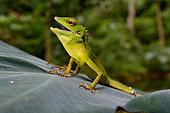 Green crested lizard (Bronchocela cristatella), Gunung Leuser, Sumatra, S.E. Asia