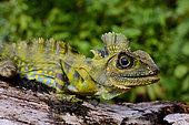 Giant Forest Dragon or Great Anglehead Lizard (Gonocephalus grandis), Siberut, S.E. Asia