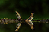 Tree Pipit (Anthus trivialis) symmetric in bath , Hungary