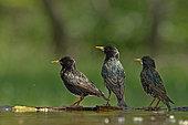 3 Common Starling (Sturnus vulgaris) in the bath, Hungary