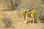 Chacal à chabraque (Canis mesomelas), en quête de nourriture dans le Désert du Kalahari, Kgalagadi, Afrique du Sud